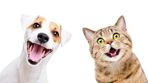 Portrait of funny dog Jack Russell Terrier and cheerful cat Scottish Straight isolated on white background