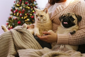 Beautiful red british shorthair cat and adorable pug with their owner. Portrait of beloved pets at home.
