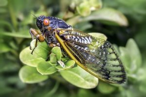 Closeup image of a cicada on leaves. Cicadas will spend up to 17 years underground as larvae before hatching. They are known as one of the loudest insects.