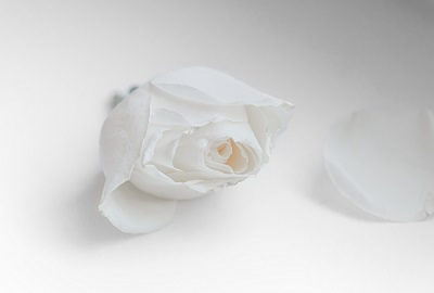 Cut white rose bud and petal lying nearby on a white background